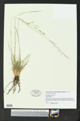 Sporobolus interruptus image