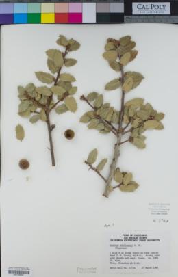 Quercus wislizeni image