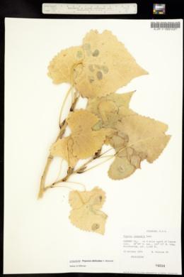 Image of Monilistus monilifera