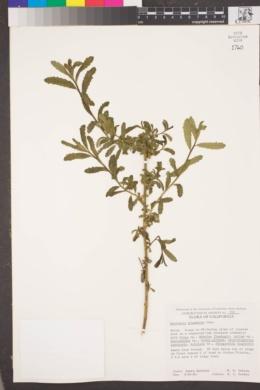 Image of Baccharis plummerae