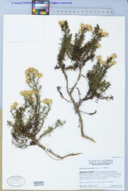 Image of Ericameria fasciculata