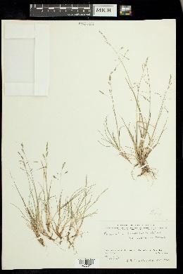 Image of Puccinellia kamtschatica