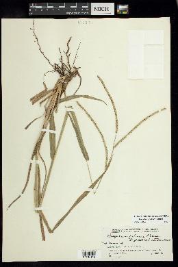 Image of Paspalum palmeri