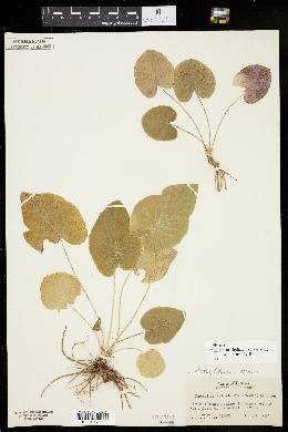 Thaspium trifoliatum var. aureum image