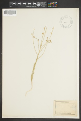 Image of Linum bootii