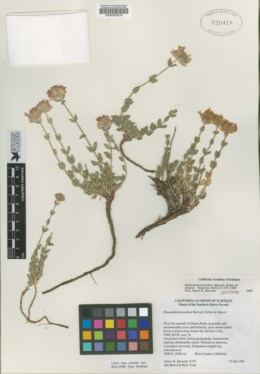 Monardella beneolens image