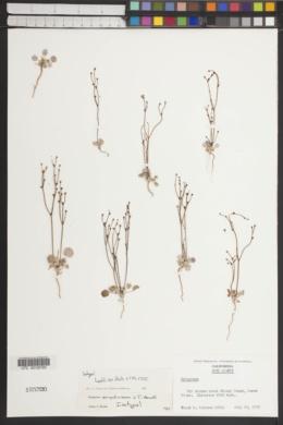 Eriogonum ampullaceum image