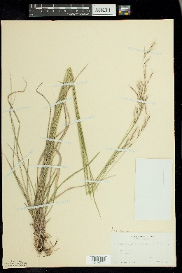 Schizachne purpurascens image