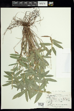 Image of Cryptochloa strictiflora