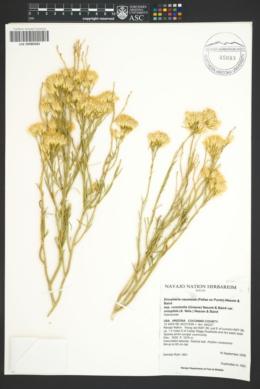 Ericameria nauseosa var. oreophila image
