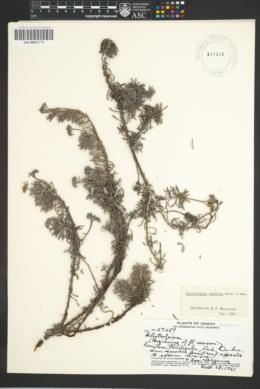 Image of Heliotropium anomalum