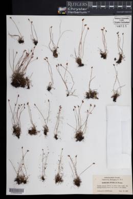 Schizaea pusilla image