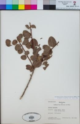 Image of Schinus montanus