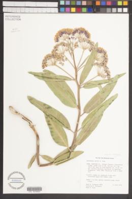 SEINet - Arizona Chapter - Asclepias hallii