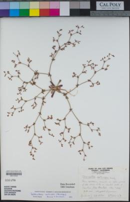 Image of Systenotheca vortriedei