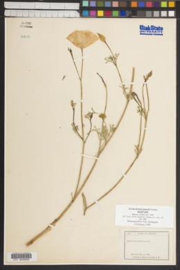 Image of Eschscholzia jonesii