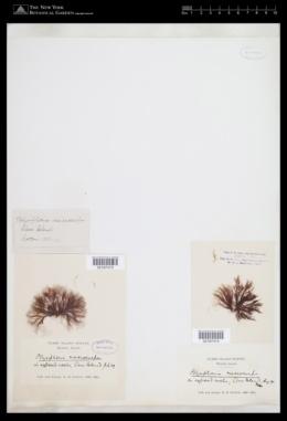Polysiphonia macrocarpa image