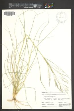 Eragrostis biflora image