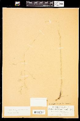 Image of Festuca californica