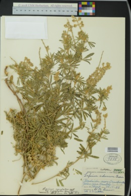 Lupinus caudatus subsp. argophyllus image