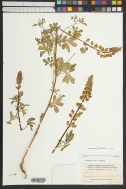 Image of Lupinus tracyi