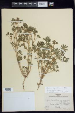 Image of Lupinus agardhianus