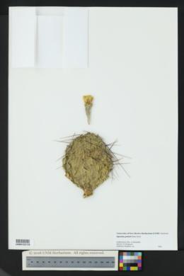 Opuntia pottsii image