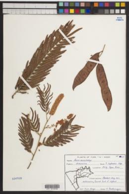 Image of Acacia macrostachya