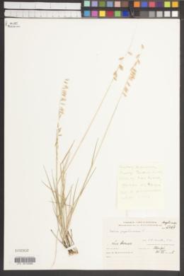 Image of Melica papilionacea
