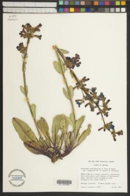 Penstemon pachyphyllus var. congestus image