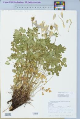 Aquilegia coerulea var. coerulea image