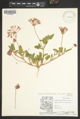 Tripterocalyx wootonii image
