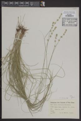 Carex convoluta image