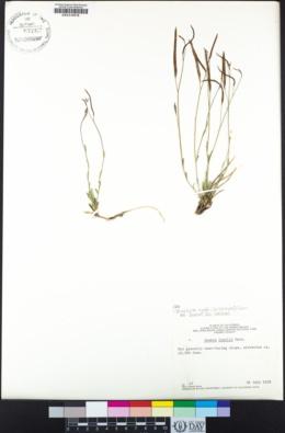 Boechera lyallii image