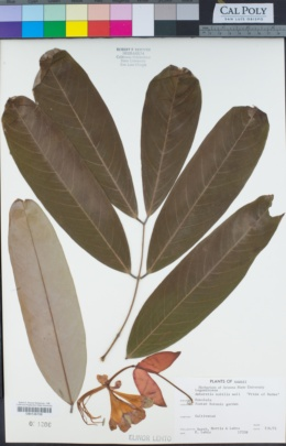Image of Amherstia nobilis