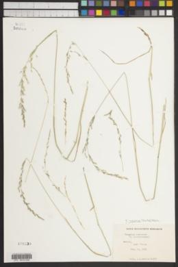 Image of Trisetum irazuense