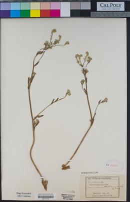 Cryptantha leiocarpa image