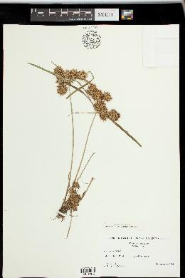 Cyperus ferax image