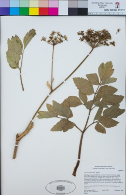 Angelica tomentosa image