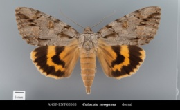 Catocala neogama image