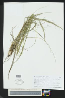 Achnatherum lobatum image