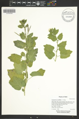 Cardamine cordifolia image