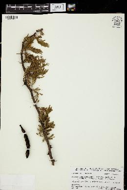 Image of Vachellia guanacastensis