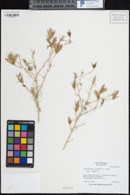 Cordylanthus wrightii subsp. wrightii image