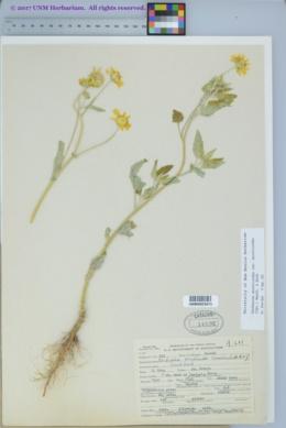 Verbesina encelioides image