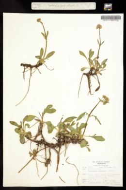 Valeriana capitata image