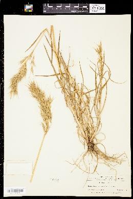 Bromus berterianus image