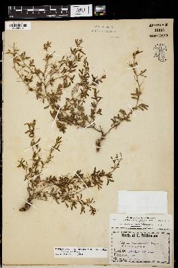 Image of Acacia biaciculata