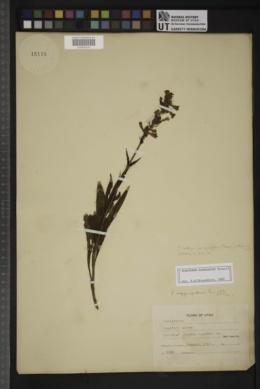 Penstemon rydbergii var. aggregatus image