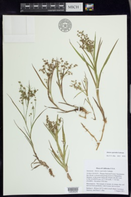 Image of Juncus cyperoides
